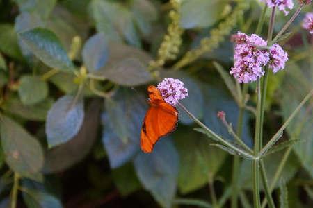 Julia butterfly (Dryas julia ) on a pink flower, Seattle