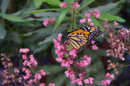 plexippus: Monarch butterfly (Danaus plexippus) resting on pink flower, Seattle