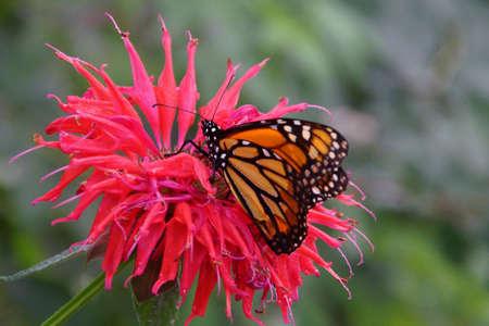 Monarch butterfly ( Danaus plexippus ) resting on pink flower, Seattle