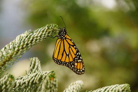 Monarch butterfly ( Danaus plexippus ) resting on spruce bud, Seattle