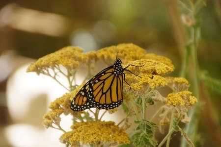 Monarch butterfly ( Danaus plexippus ) resting on yellow flower, Seattle