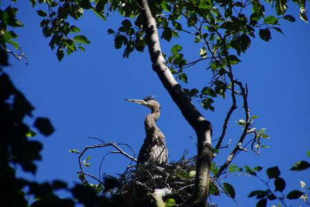 herodias: Young fledgling Great Blue Herons ( Ardea herodias )preen and flap their wings in waterside park in Seattle