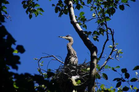 herons: Young fledgling Great Blue Herons ( Ardea herodias )preen and flap their wings in waterside park in Seattle