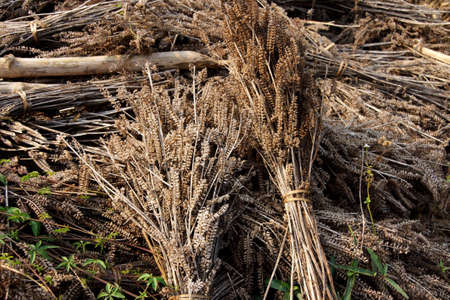 newly: Bundles of newly harvested sesame in   Hsipaw,  Myanmar (Burma)