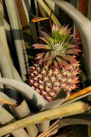 Growing pineapples in field in  Hsipaw,  Myanmar (Burma)