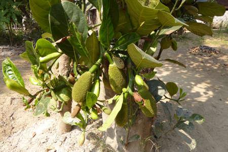 잭 과일 Hsipaw, 미얀마 (버마) 농장에서 성장