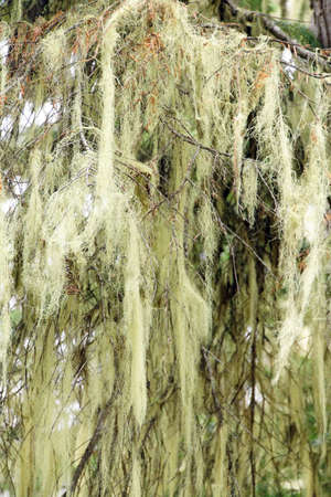 Beard lichen Alectoria hanging from conifer trees, Joffre Lakes Provincial Park, British Columbia, Canada