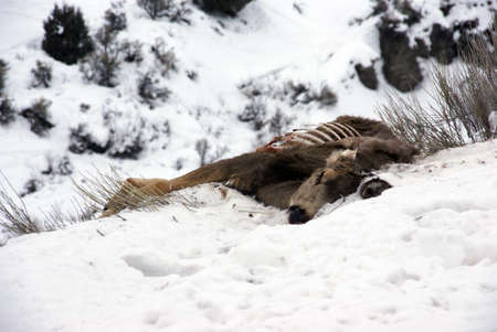 Dead Mule deer eaten by scavengers, Colorado, Rocky Mountains