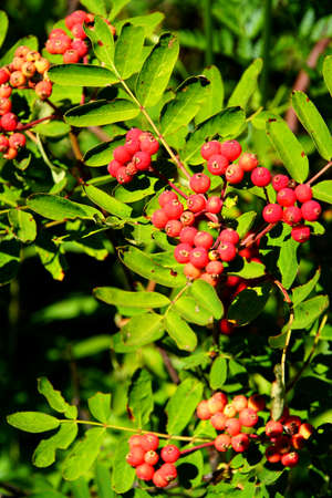 Red berries on mountain ash, Mount Rainier National Park