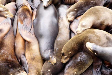 California sea lions sleep in huddled piles on a crowded wharf,  (Zalophus californianus) , Newport Bay Harbor,Oregon coast