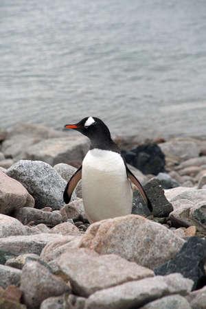 Gentoo penguin on rocky beach, [Pygoscelis papua] Cuverville Island, Antarctica 版權商用圖片