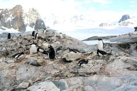 icefall: Large group of nesting gentoo penguins, [Pygoscelis adeliae] Petermann Island, Antarctica