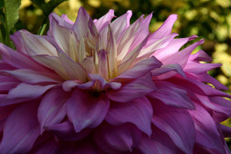 pacific northwest: Pink dahlia, detail, Seattle, Pacific Northwest Stock Photo