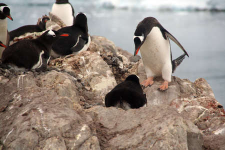Male offering his mate a rock for her nest - Gentoo penguin rookery, group, nesting on rocks, [Pygoscelis papua]Neko Harbor, Andvord Bay,Antarctica