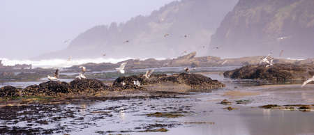 Seagulls flying out over incoming surf  near Otter Rock, Oregon coast Stock Photo