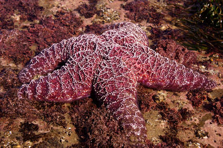 ochre: Purple sea star ( Pisaster ochraceus ) exposed by low tides  on an Oregon Beach near Yaquina Head, Newport.   echinoderms belonging to the class Asteroidea Stock Photo