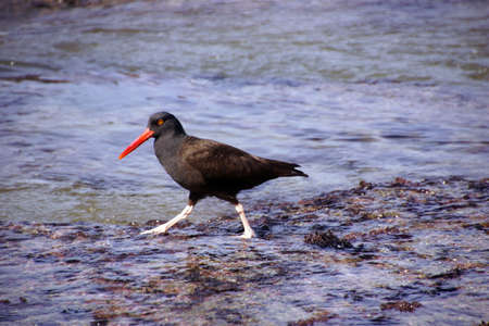 American oystercatcher walking in tide pools,  ( Haematopus palliatus )  near Otter Rock, Oregon coast.