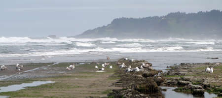 Low tide panorama, tide pools, gulls with barnacle and mussel covered rocks,Oregon Coast Stock Photo - 71342861