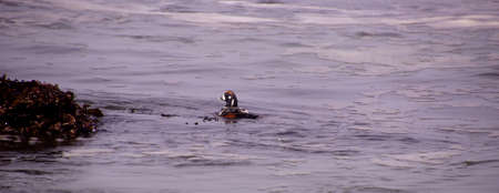 Harlequin Duck swimming in surf ( Histrionicus histrionicus  )  near Otter Crest on the Oregon coast A bird of fast-moving water, the Harlequin Duck breeds on fast-flowing streams and winters along rocky coastlines in the crashing surf.