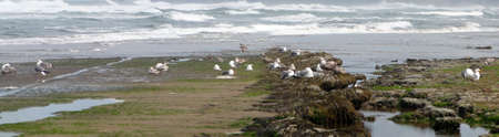 Low tide panorama, tide pools, gulls with barnacle and mussel covered rocks,Oregon Coast Stock Photo - 71342890