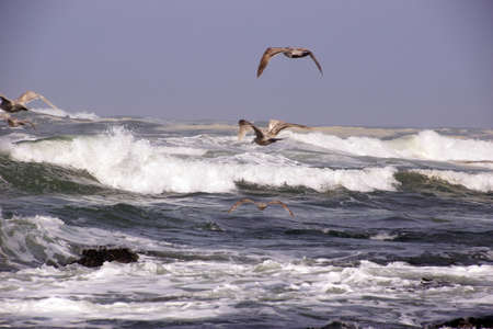Seagulls flying out over incoming surf  near Otter Rock,  Oregon coast