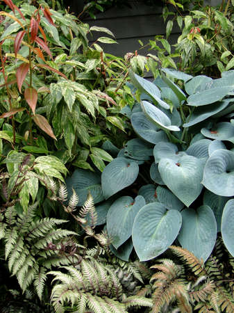 Hostas and ferns  in shade garden in Seattle Stock Photo