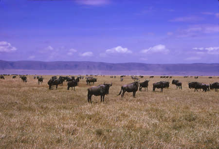Gnu wildebeest herd grazes on the savannah in the  Ngorongoro Crater, Tanzania