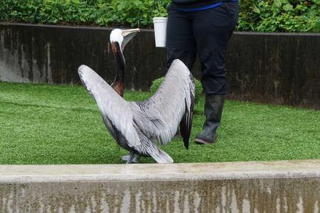 Brown Pelican ( Pelecanus occidentalis ) on grass lawn in  Newport, Oregon