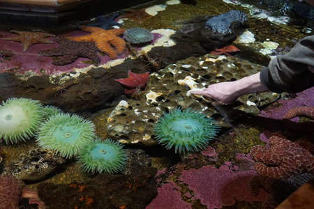Touching sea anemones and other creatures in an interptretive tide pool, Newport, Oregon Stock fotó