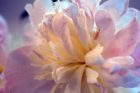 Detail of peony blossom, isolated on white, from a  Seattle garden