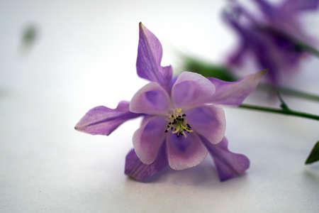 Purple columbine isolated on white
