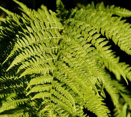 maleza: Lady fern ( Athyrium filix-femina )   in Seattle garden
