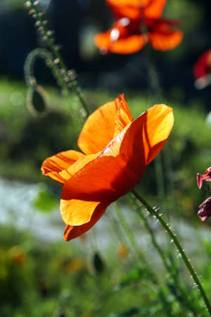 Backlit red poppy  in Seattle garden