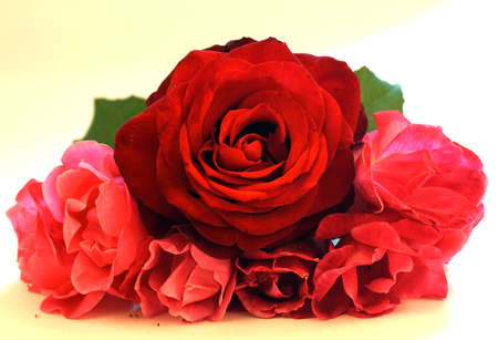 Macro of red rose isolated on white