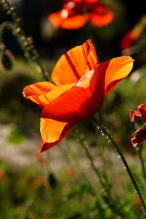 시애틀 정원에있는 백라이트 빨간 양귀비