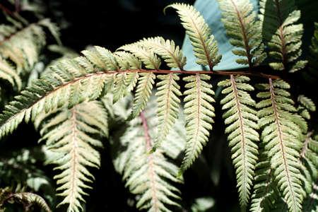 maleza: Delicate ferns in a spring garden, Seattle