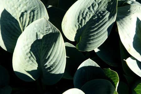 hosta: Detail hosta leaves in Seattle garden Stock Photo