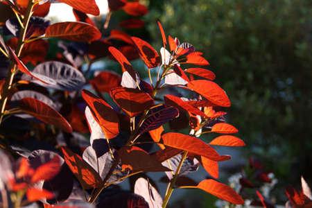 Backlit veined leaves of smoke bush  in Seattle garden