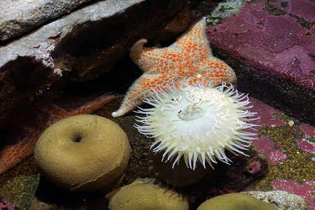 White Sea anemone and starfish in tidepool  tank Newport, Oregon Stock Photo