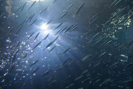Onduidelijk beeld van school van ansjovis zwemmen in gesynchroniseerde formatie Newport, Oregon