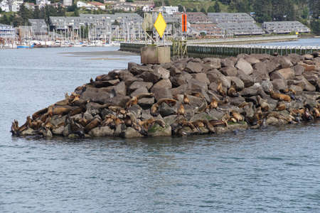 California Sea Lions, sleeping on jetty,  (Zalophus californianus) , Newport,Oregon Coast
