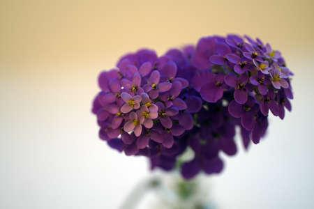 Macro of purple wildflower,  isolated on white.
