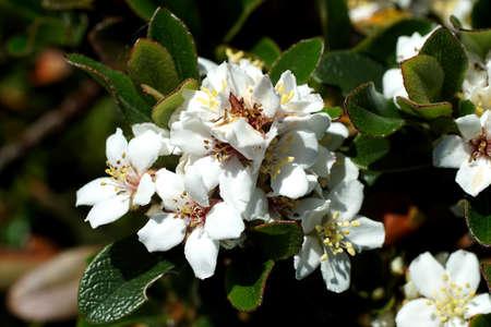 maleza: Clusters of small white flowers on bush in a spring garden, Seattle Foto de archivo