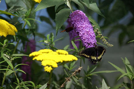 Butterfly gathering nectar on purple and yellow flowers, Seattle