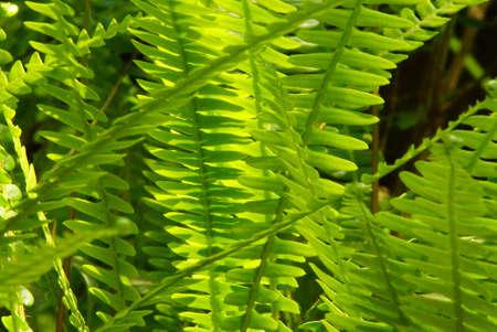 maleza: Helechos retroiluminados en el sotobosque del bosque nacional de Snoqualmie, Washington Foto de archivo