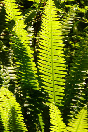 Backlit ferns in understory of the  Snoqualmie National Forest, Washington