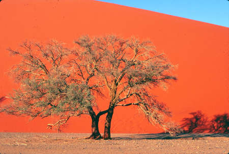 Giant sand dunes and acacia tree in desert near Sossusvlei Namibia, Africa Stock Photo