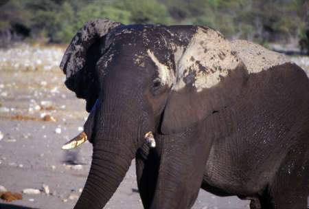 Elephant with drying mud on its back