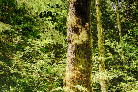 Conifer tree trunk with lichen and moss  near the Elwha River in   National Park, Washington Stock Photo
