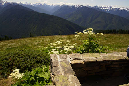 Clusters of white wildflowers on hillside of Hurricane Ridge in  Olympic National Park, Washington Editorial
